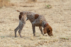 German short hair pointer dog detecting scent. German short hair pointed dog detecting scent during field trial competition Royalty Free Stock Image