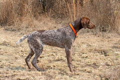German short hair pointer dog detecting scent Royalty Free Stock Photos