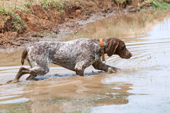 German short hair pointer dog detecting scent Stock Images