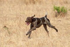 German short hair pointer dog following scent Royalty Free Stock Photo