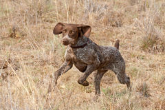 German short hair pointer dog following scent Stock Photo