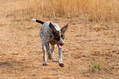 German short hair pointer dog running. Pointer dog running after scent during field trial competition royalty free stock photos