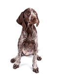 German short-haired pointer Royalty Free Stock Image