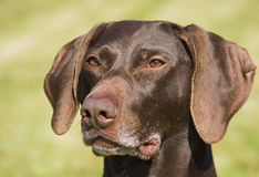 German short haired pointer Royalty Free Stock Image