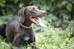 German short-haired pointer Royalty Free Stock Photos