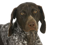 German short haired pointer Stock Photography