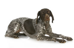 German short haired pointer Stock Photos