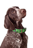German short-haired pointer Attentively looks. On white a background royalty free stock photography