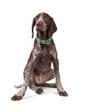 German short-haired pointer the hunting dog. Sits on white a background Stock Photo