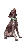 German short-haired pointer looks upwards Royalty Free Stock Image