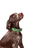 German short-haired pointer looks upwards Stock Photography