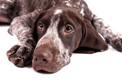 Free German Short-haired Pointer Looks Upwards Stock Photography - 13026542