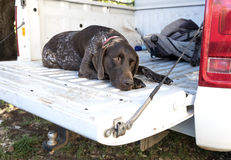 German Short Haired Pointer In Pickup Truck Stock Image