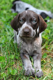 German Short Haired Pointer Puppy Royalty Free Stock Photography