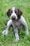 German Short Haired Pointer Puppy Royalty Free Stock Images