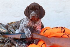 German Short Haired Pointer puppy with shotgun and hunting clothes Royalty Free Stock Photo