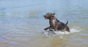 German Shorthaired Pointer in River. Royalty Free Stock Photo