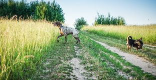 German short-haired pointer and small black dog. German short-haired pointer Deutscher kurzhaariger in a summer meadow stock photos