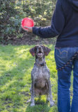 German short haired pointer waits Royalty Free Stock Photography