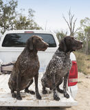 German Short Haired Pointers in Ute Stock Images