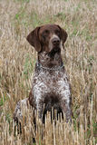 German Short-haired Pointing Dog on the corn field Stock Image