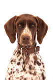 German Shorthair Pointer Royalty Free Stock Photography
