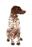 German shorthair pointer Stock Photography