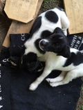 German Shorthair Pointer Puppies royalty free stock photo