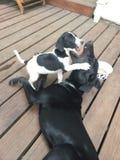 German Shorthair Pointer Puppies Stock Photo