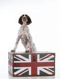 German shorthair pointer puppy Stock Photography