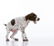 German shorthair pointer puppy Royalty Free Stock Image