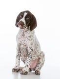 German shorthair pointer puppy Stock Photos
