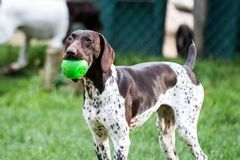 Free German Shorthair Pointer Running In The Grass Royalty Free Stock Photo - 121218105