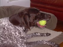 German Shorthair Pointer with tennis ball Royalty Free Stock Photos