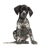 German Shorthaired Pointer, 10 weeks old Stock Image