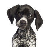 German Shorthaired Pointer, 10 weeks old Stock Images