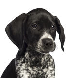German Shorthaired Pointer, 10 weeks old Stock Photography