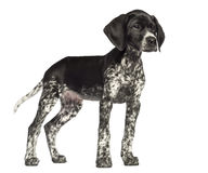 German Shorthaired Pointer, 10 weeks old Royalty Free Stock Image