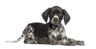 German Shorthaired Pointer, 10 weeks old, lying. Against white background Royalty Free Stock Photography