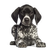 German Shorthaired Pointer, 10 weeks old, lying Stock Image
