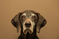 German shorthaired pointer, 11 years old Stock Image