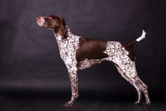 Free German Shorthaired Pointer Stock Images - 110313164
