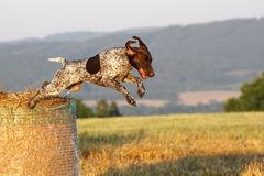 Free German Shorthaired Pointer Stock Image - 15172591