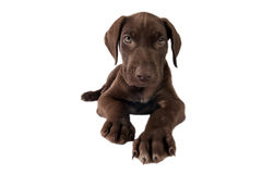 German shorthaired pointer. Royalty Free Stock Photography