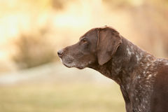 Free German Shorthaired Pointer Stock Photo - 24388680