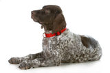 German shorthaired pointer Royalty Free Stock Images