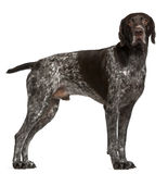 German Shorthaired Pointer, 3 years old Stock Photos