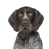 German Shorthaired Pointer (4 years) Royalty Free Stock Photography