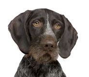 German Shorthaired Pointer (4 years) Royalty Free Stock Images