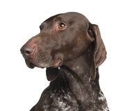 German Shorthaired Pointer, 4 years old Stock Photos